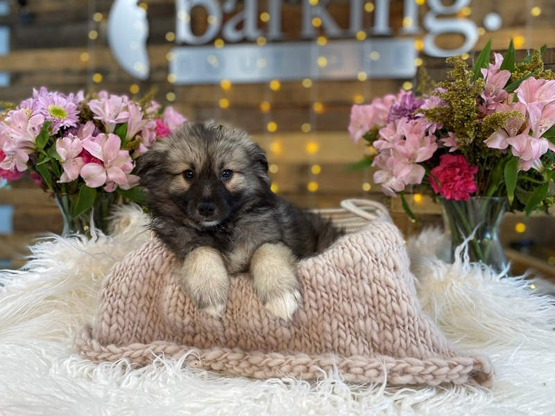 Keeshond/American Eskimo-Male-Black / Silver-2960810-The Barking Boutique