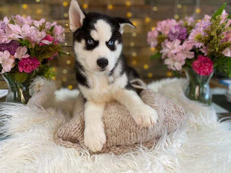 Siberian Husky-Male-Black / White-2960532-The Barking Boutique