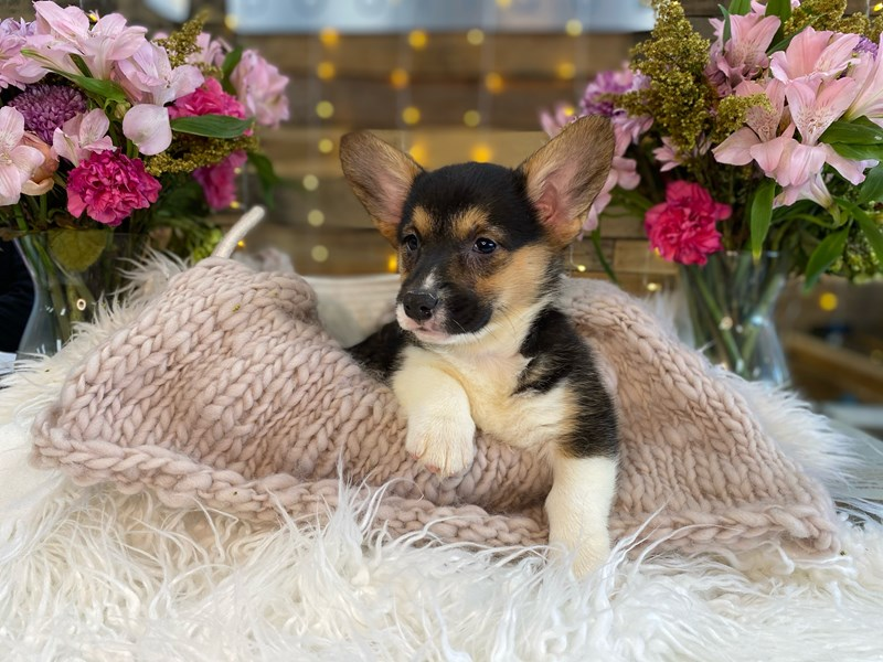 Cardigan Welsh Corgi-Female-Tri-Colored-2960747-The Barking Boutique