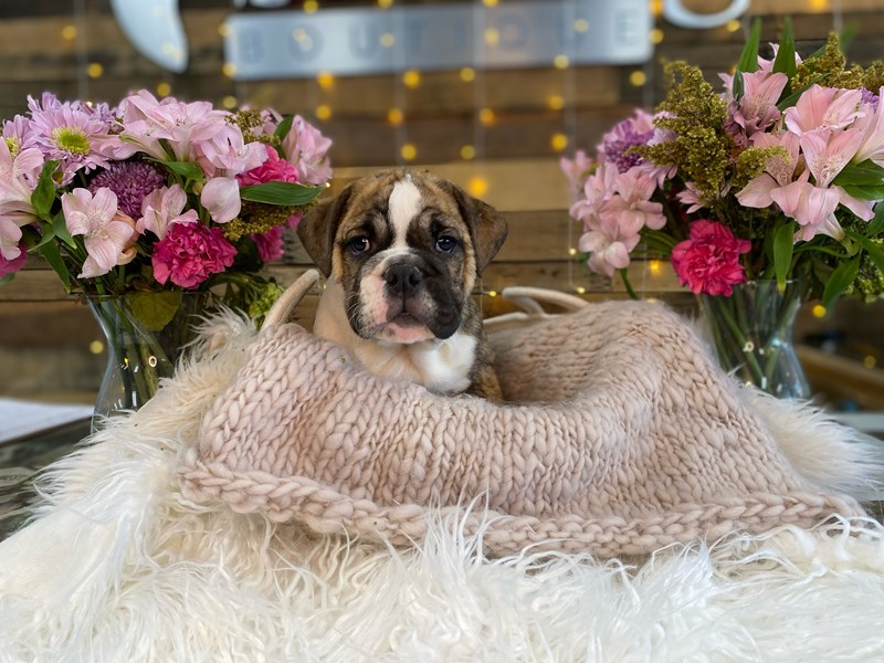 Bulldog-Male-Brown Brindle-2960515-The Barking Boutique