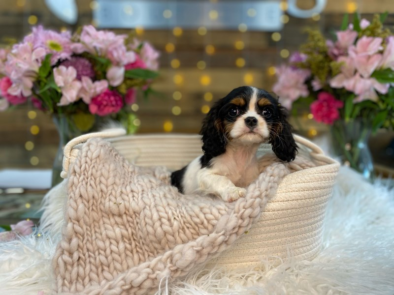 Cavalier King Charles Spaniel-Female-Tri-Colored-2960535-The Barking Boutique