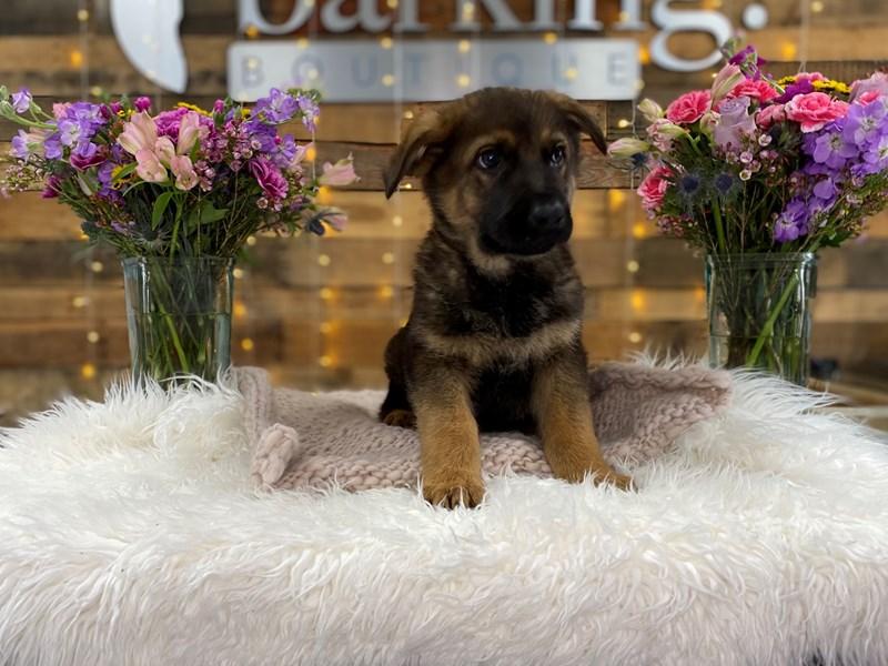 German Shepherd-Male--2966111-The Barking Boutique