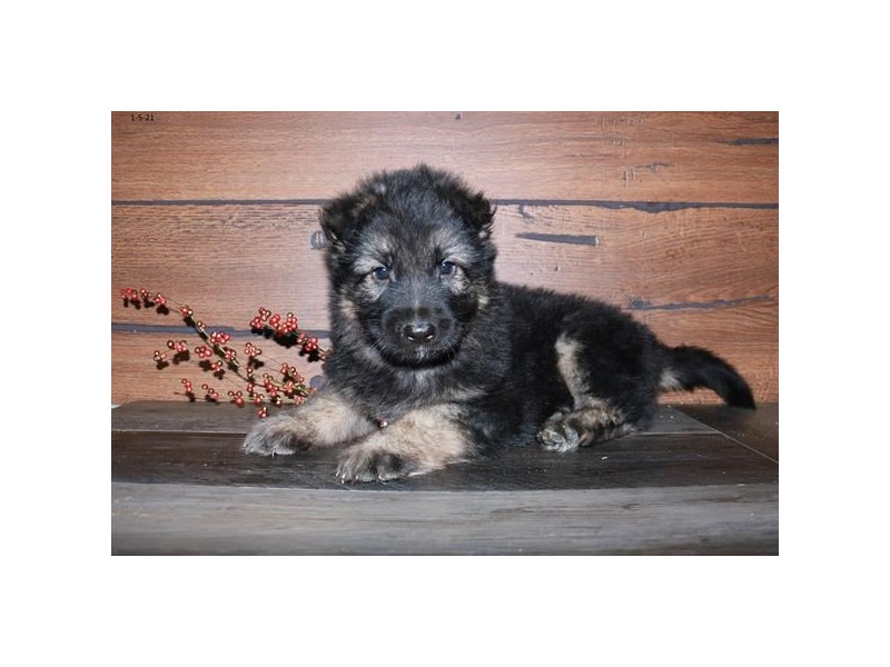 German Shepherd Dog-Male-Black / Tan-2968782-The Barking Boutique