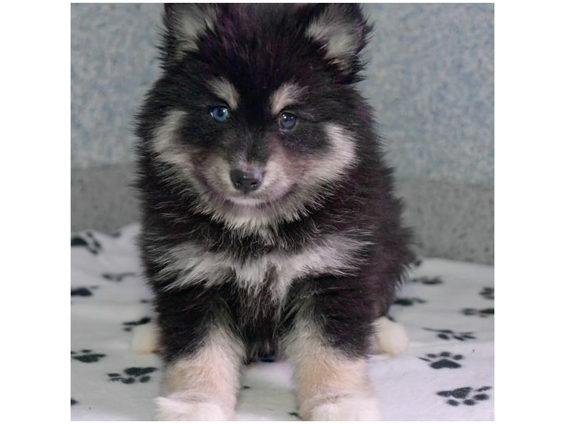 Pomsky-Female-Gray / White-2968785-The Barking Boutique