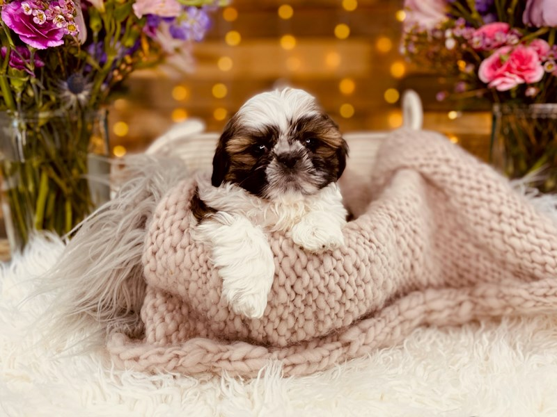 Shih Tzu-Male-Sable / White-2968777-The Barking Boutique