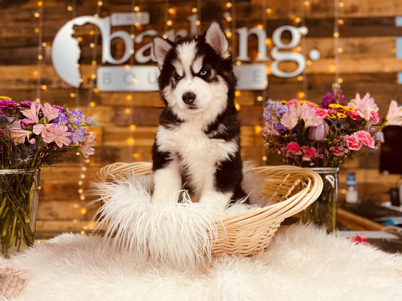 Siberian Husky-Male-Black / White-2968771-The Barking Boutique
