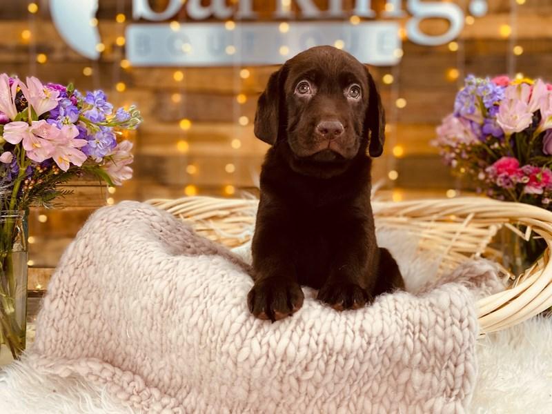 Labrador Retriever-Male-Chocolate-2968774-The Barking Boutique