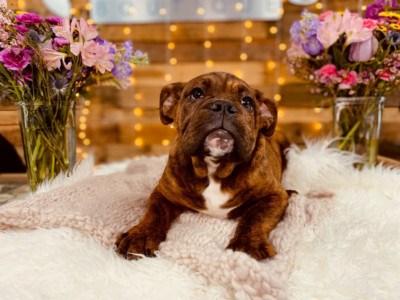 Victorian Bulldoge-Male-Brown Brindle-2968791-The Barking Boutique