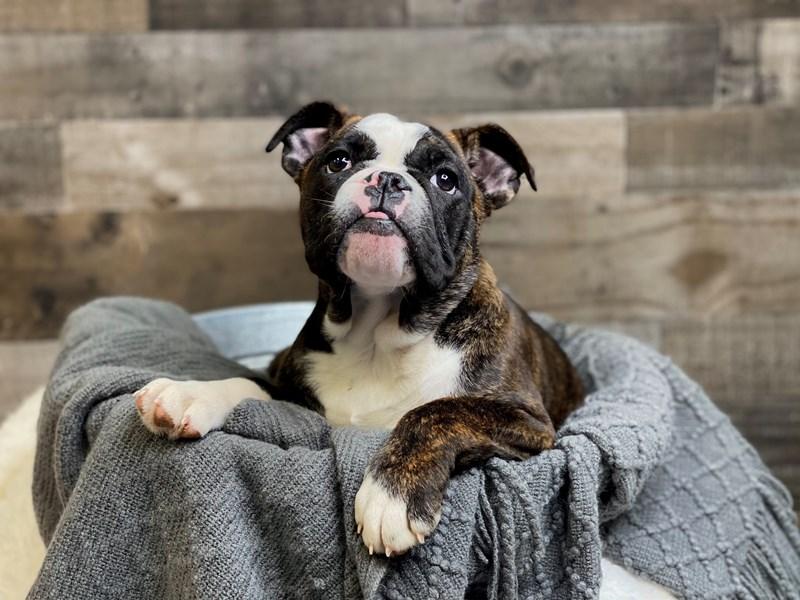 Victorian Bulldoge-Female-Black-2968790-The Barking Boutique