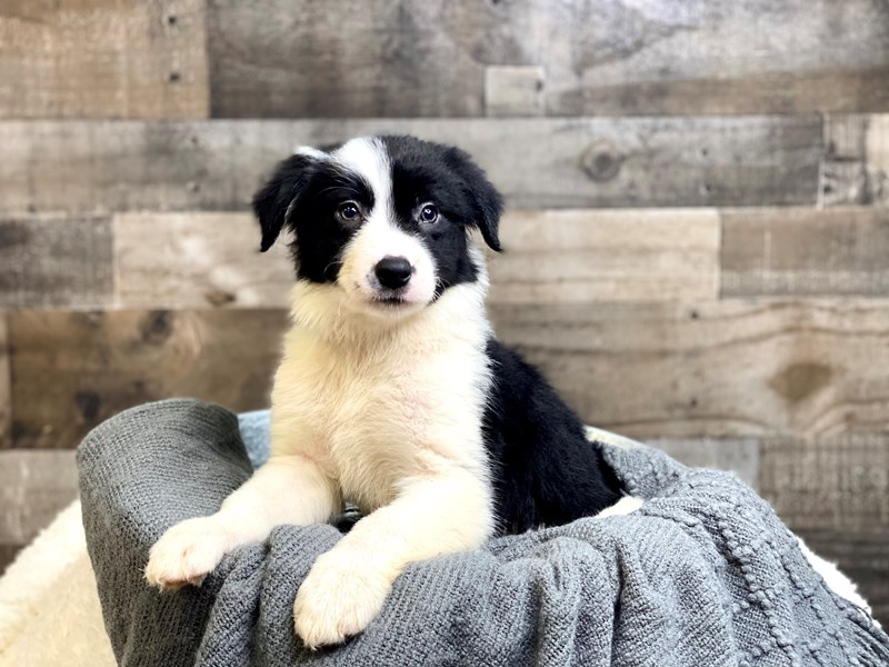 Border Collie-Female-Black & White-2965828-The Barking Boutique