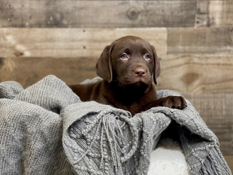 Labrador Retriever-Male-Chocolate-2968775-The Barking Boutique
