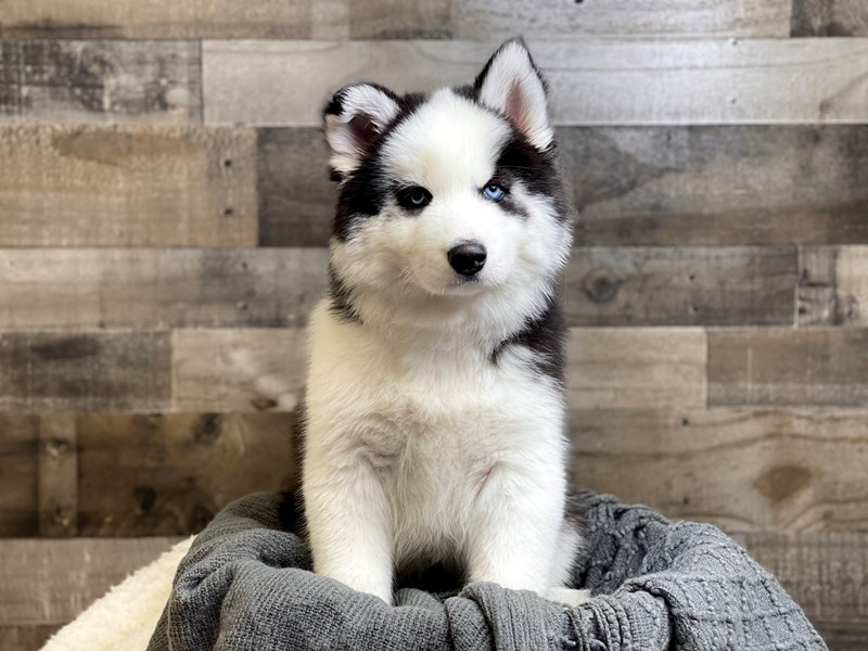 Siberian Husky-Male-Black / White-2968772-The Barking Boutique