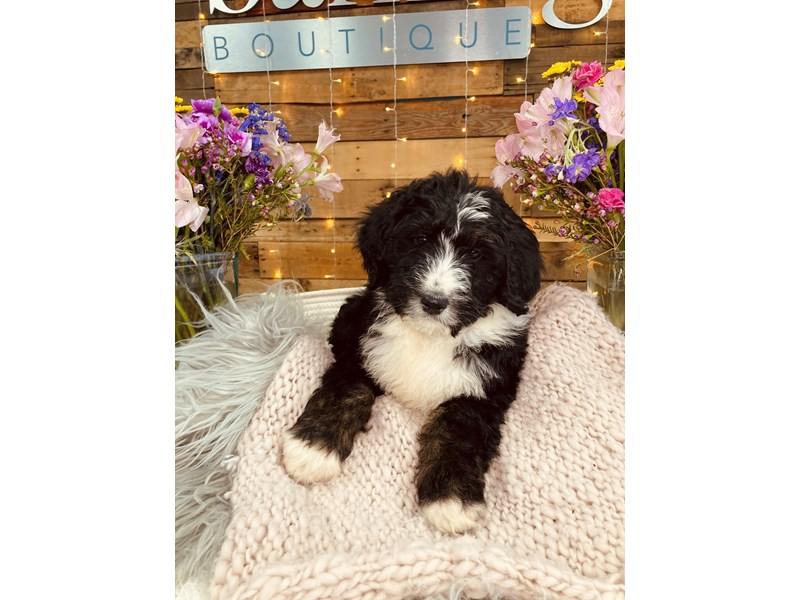 Bernedoodle-Male-Tri-Color-2973503-The Barking Boutique