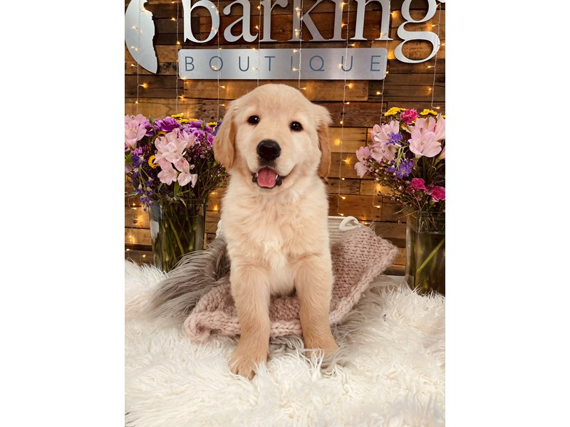 Golden Retriever-Male--2973554-The Barking Boutique