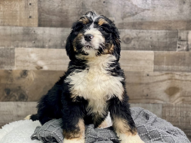 Bernedoodle-Male--2973496-The Barking Boutique