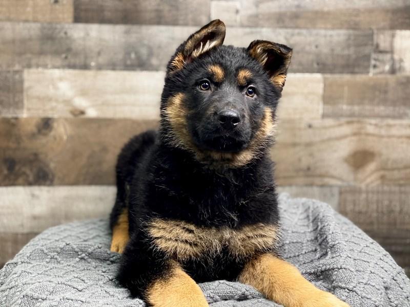 German Shepherd-Female-Black & Tan-2973660-The Barking Boutique