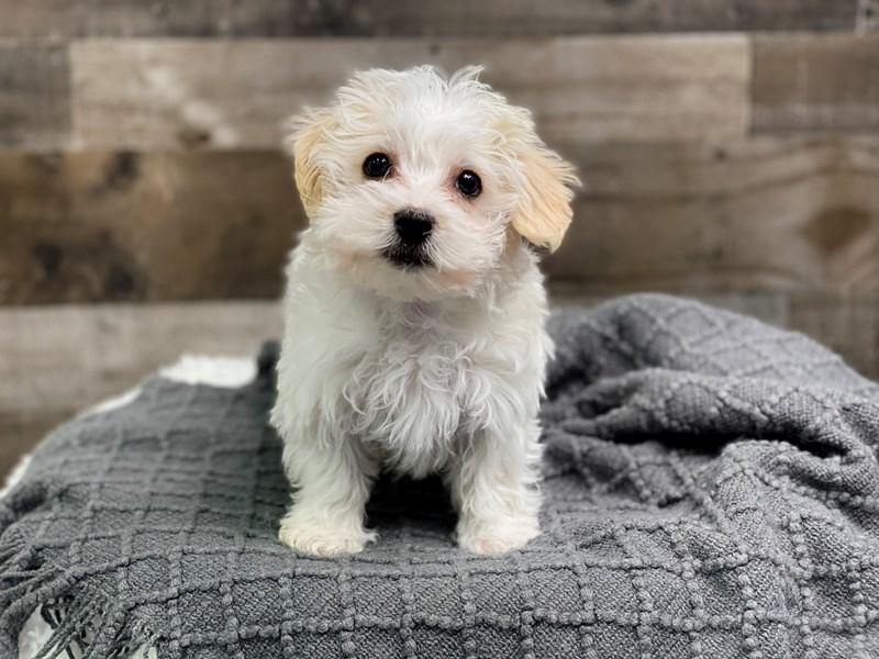 Maltipoo (Maltese/Poodle) – Boston