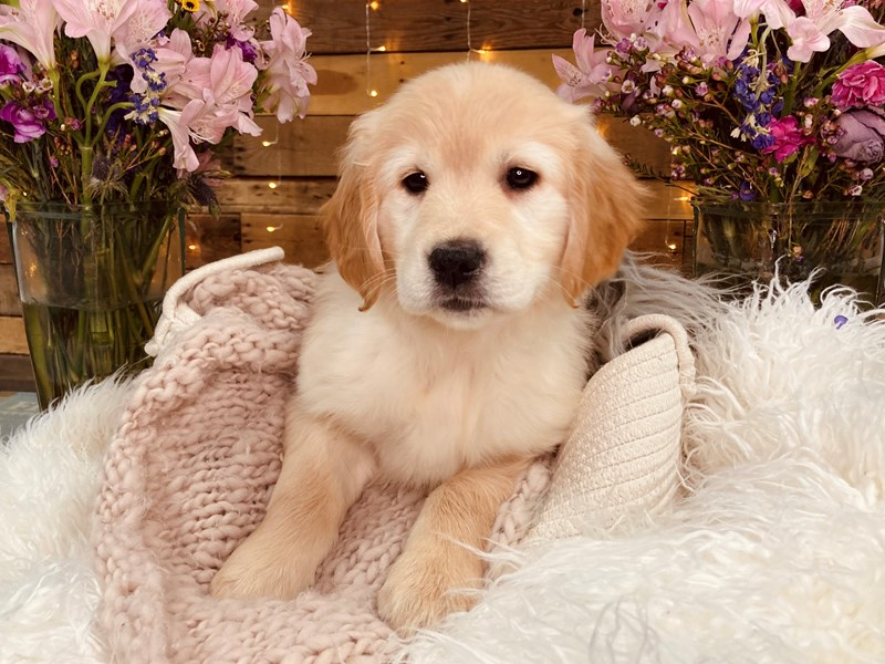 Golden Retriever-Female-Cream-2977149-The Barking Boutique