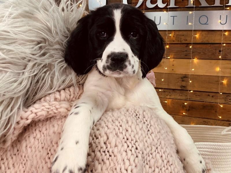English Springer Spaniel-Female-Black / White-2977036-The Barking Boutique