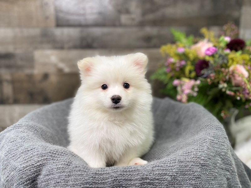 Pomimo-Female-White-2977038-The Barking Boutique