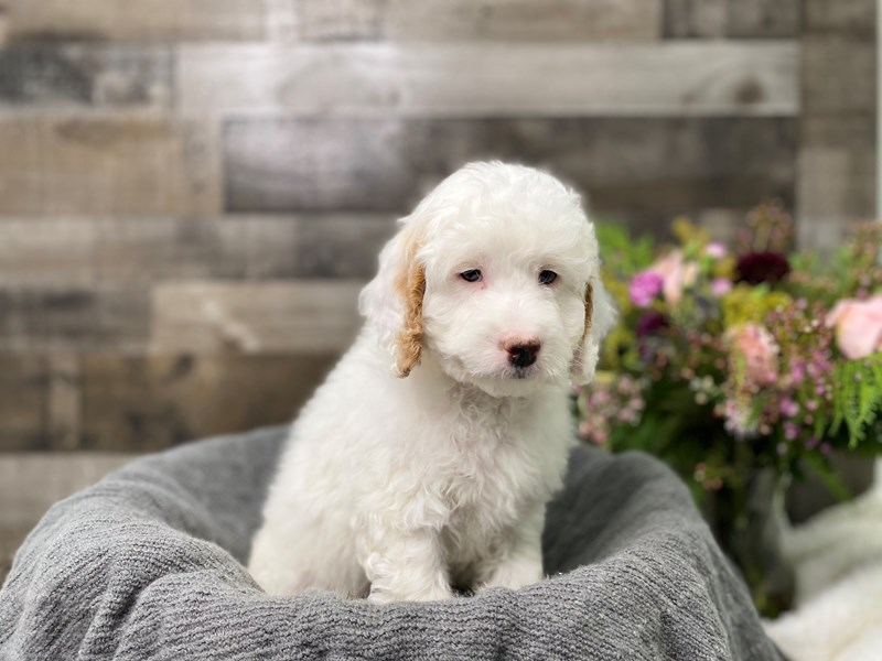 Goldendoodle Mini 2nd Gen-Male-White-2977148-The Barking Boutique