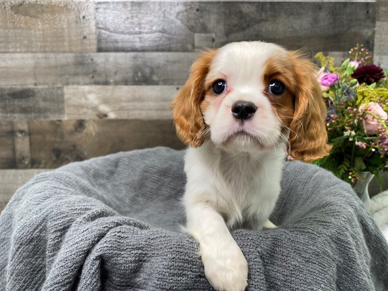 Cavalier King Charles Spaniel-Male-Blenheim-2977047-The Barking Boutique