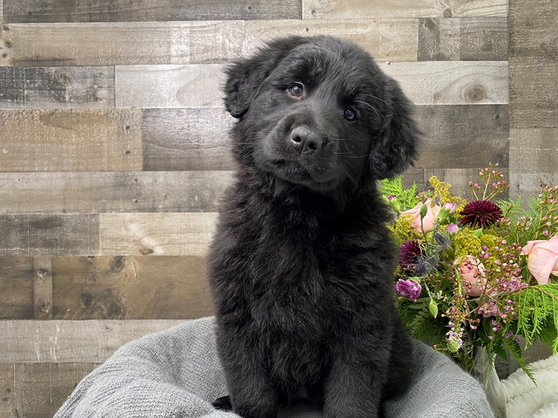 Golden Retriever/German Shepherd-Female-Black-2977224-The Barking Boutique