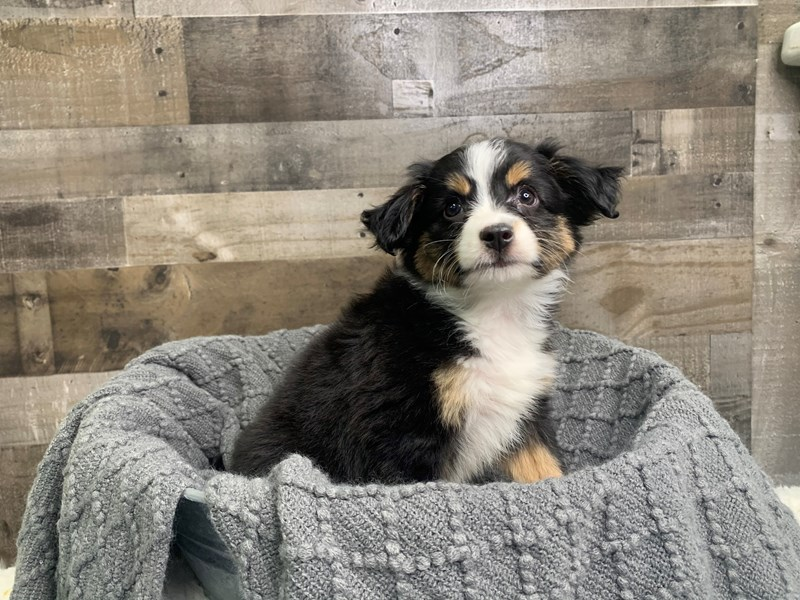 Mini Australian Shepherd-Male-Black / White-2977049-The Barking Boutique