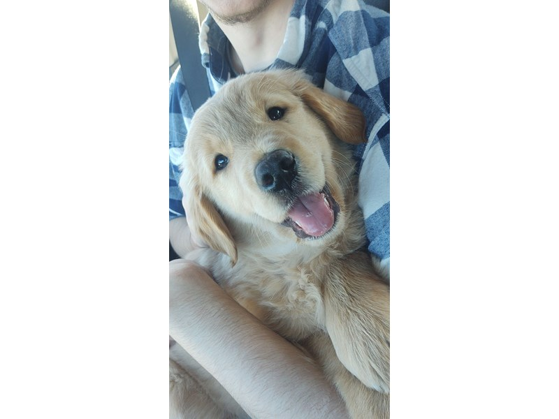 Golden Retriever-Male-Golden-2973571-The Barking Boutique