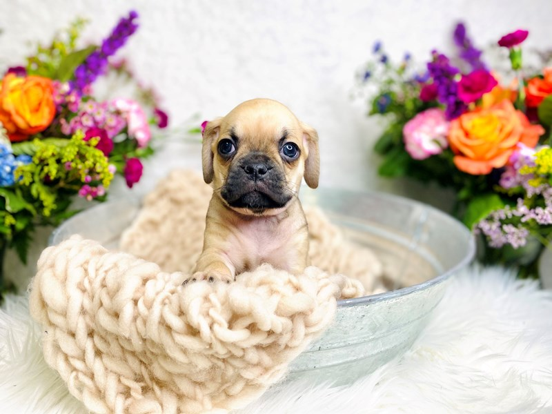 Puggle-Male-Fawn & Black-2985575-The Barking Boutique