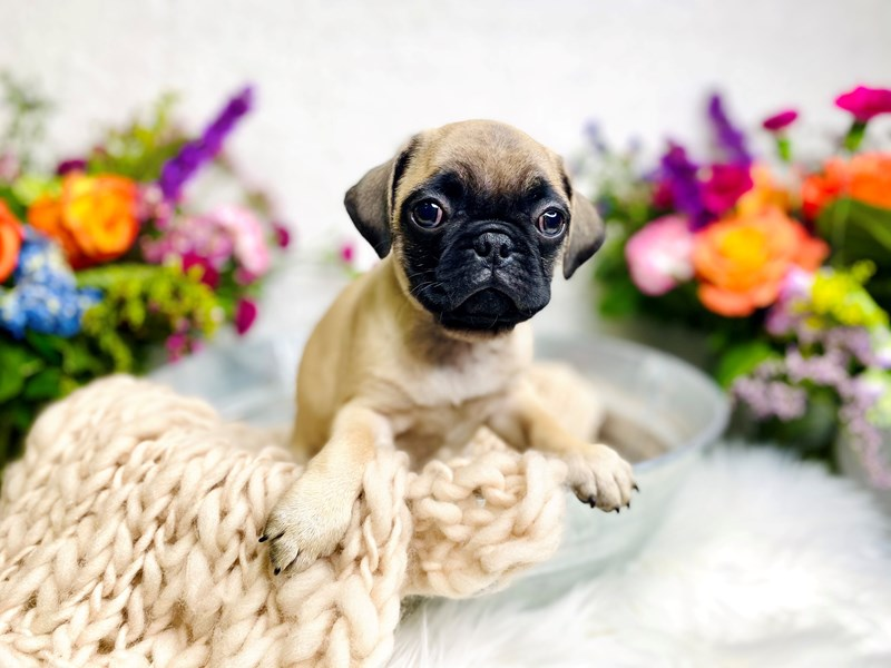 Pug-Female-Fawn-2985324-The Barking Boutique