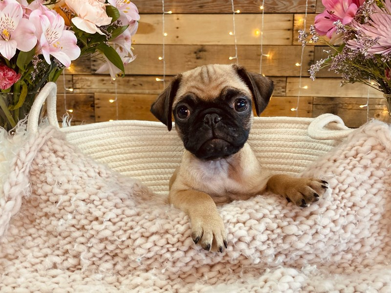 Pug-Male-Fawn-2985326-The Barking Boutique