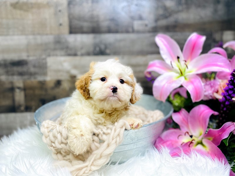 F1B Mini Bernadoodle/Cavalier King Charles Spaniel-Male-Chocolate parte-2957538-The Barking Boutique