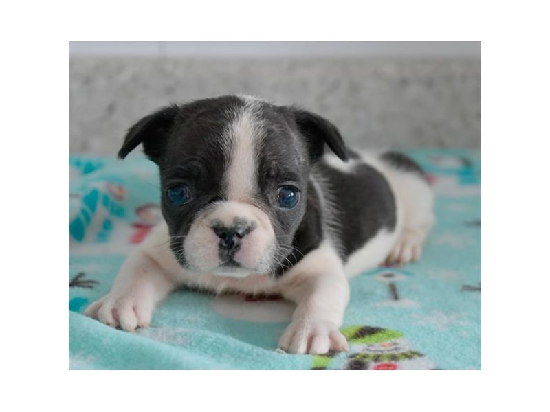 French Bulldog-Female-Black / White-2960522-The Barking Boutique