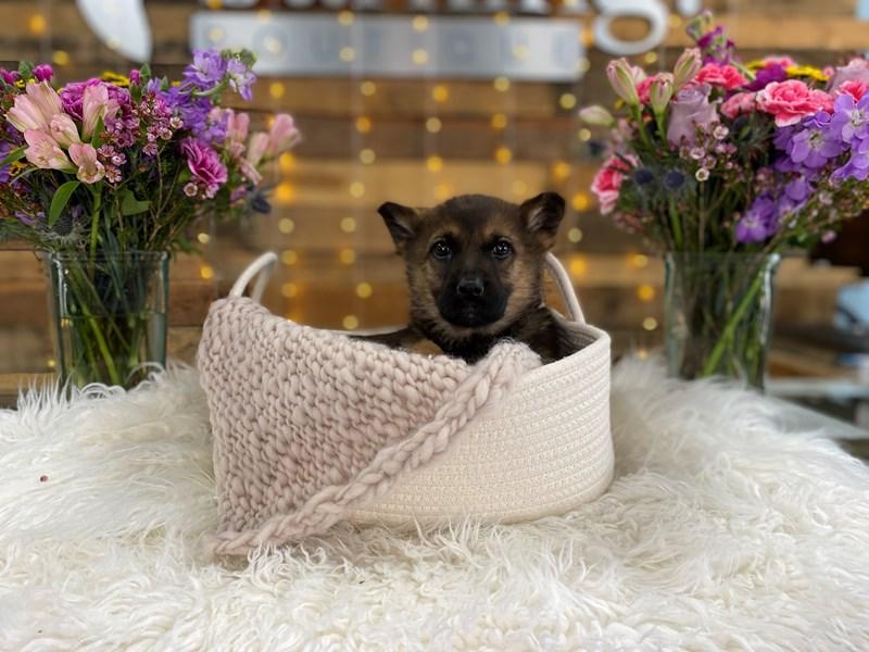 German Shepherd-Female--2966067-The Barking Boutique