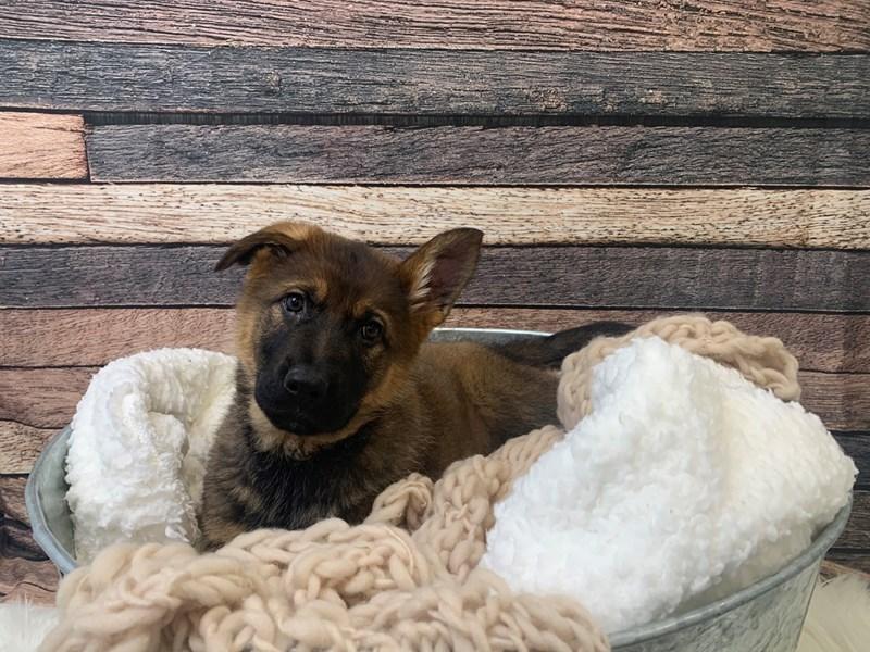 German Shepherd – Munchkin