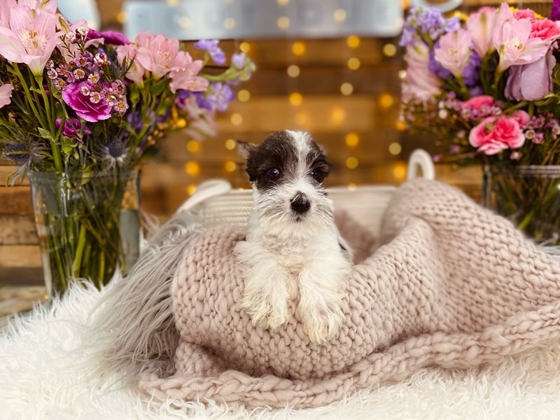 Miniature Schnauzer-Male-Sable / White-2968789-The Barking Boutique