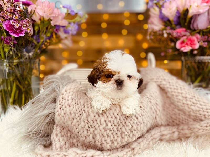 Shih Tzu-Male-Red / White-2968776-The Barking Boutique