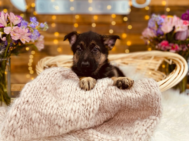 German Shepherd Dog-Female-Black / Tan-2968780-The Barking Boutique