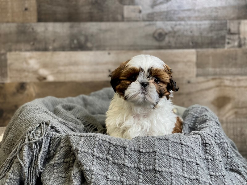 Shih Tzu-Male-Red / White-2968778-The Barking Boutique