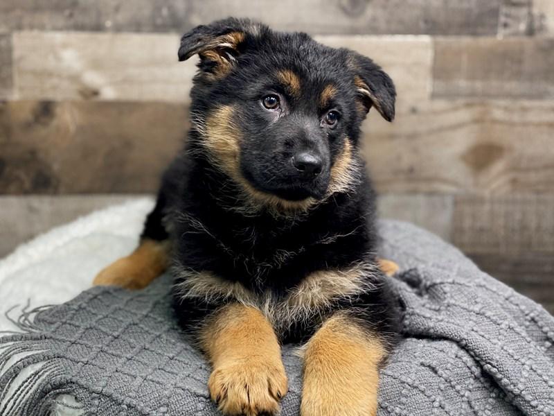 German Shepherd – Juno
