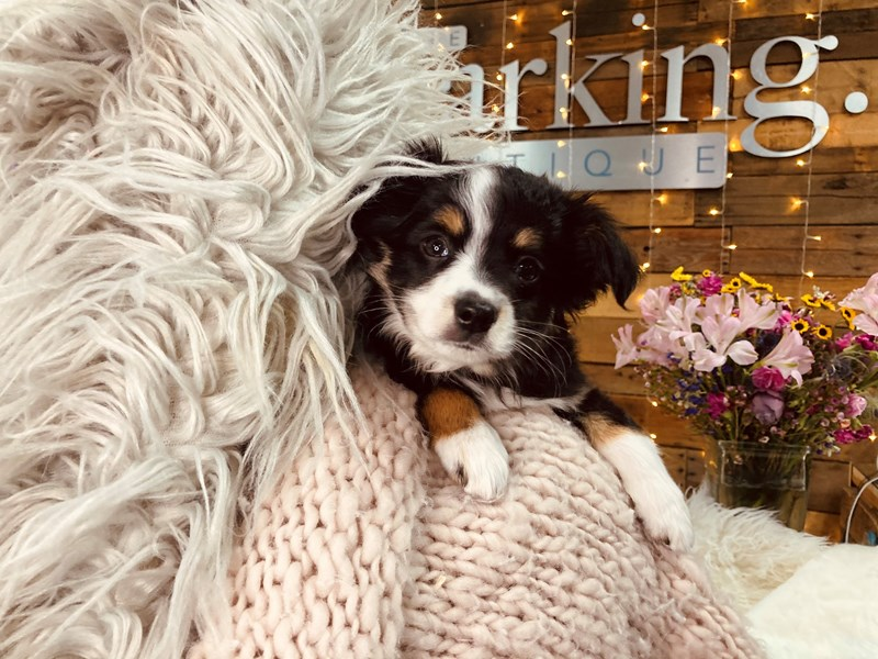 Mini Australian Shepherd-Male-Black / White-2977040-The Barking Boutique