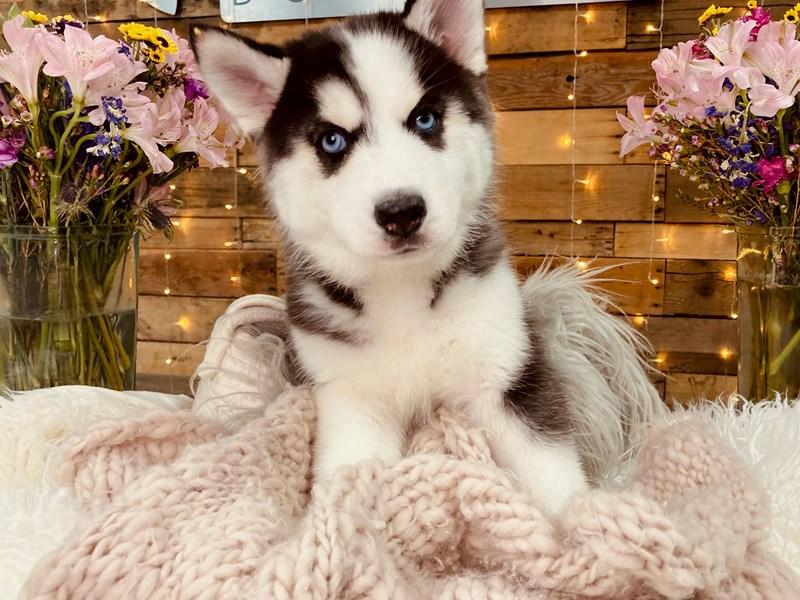 Siberian Husky – Snooki
