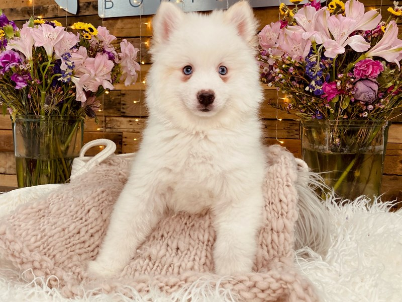 Pomsky-Male-Cream-2977053-The Barking Boutique