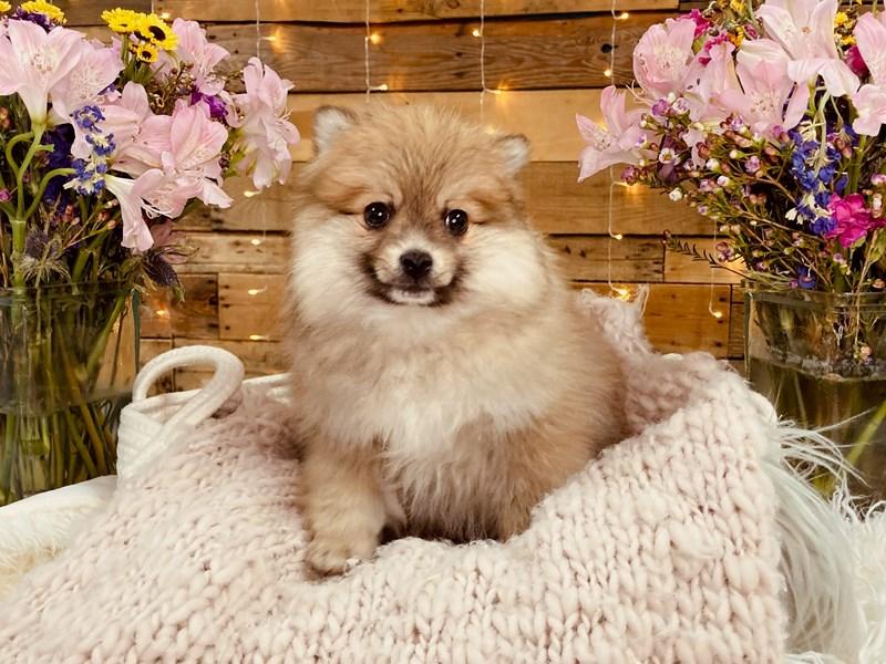 Pomeranian – Twix
