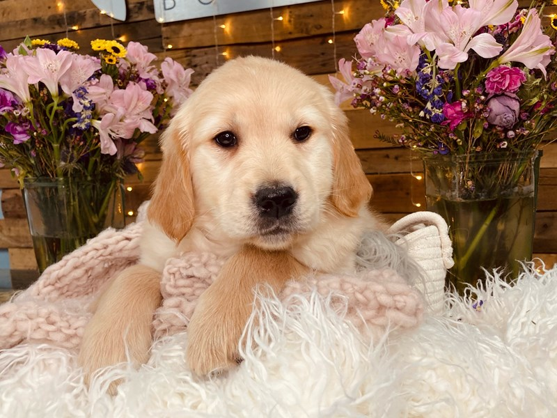 Golden Retriever-Male-Cream-2977150-The Barking Boutique