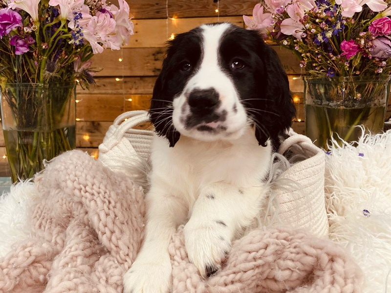 English Springer Spaniel-Male-Black / White-2977037-The Barking Boutique