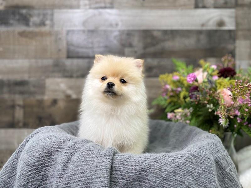 Pomeranian-Male-Cream-2976527-The Barking Boutique