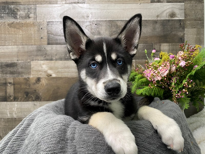 Siberian Husky-Male-Black and white-2976600-The Barking Boutique