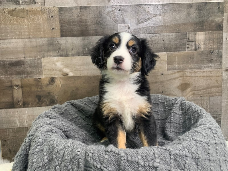Mini Australian Shepherd-Female-Black / White-2977048-The Barking Boutique